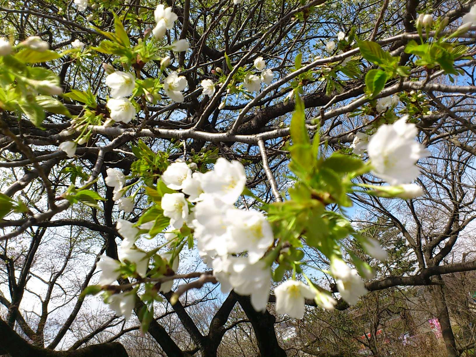 名勝小金井桜