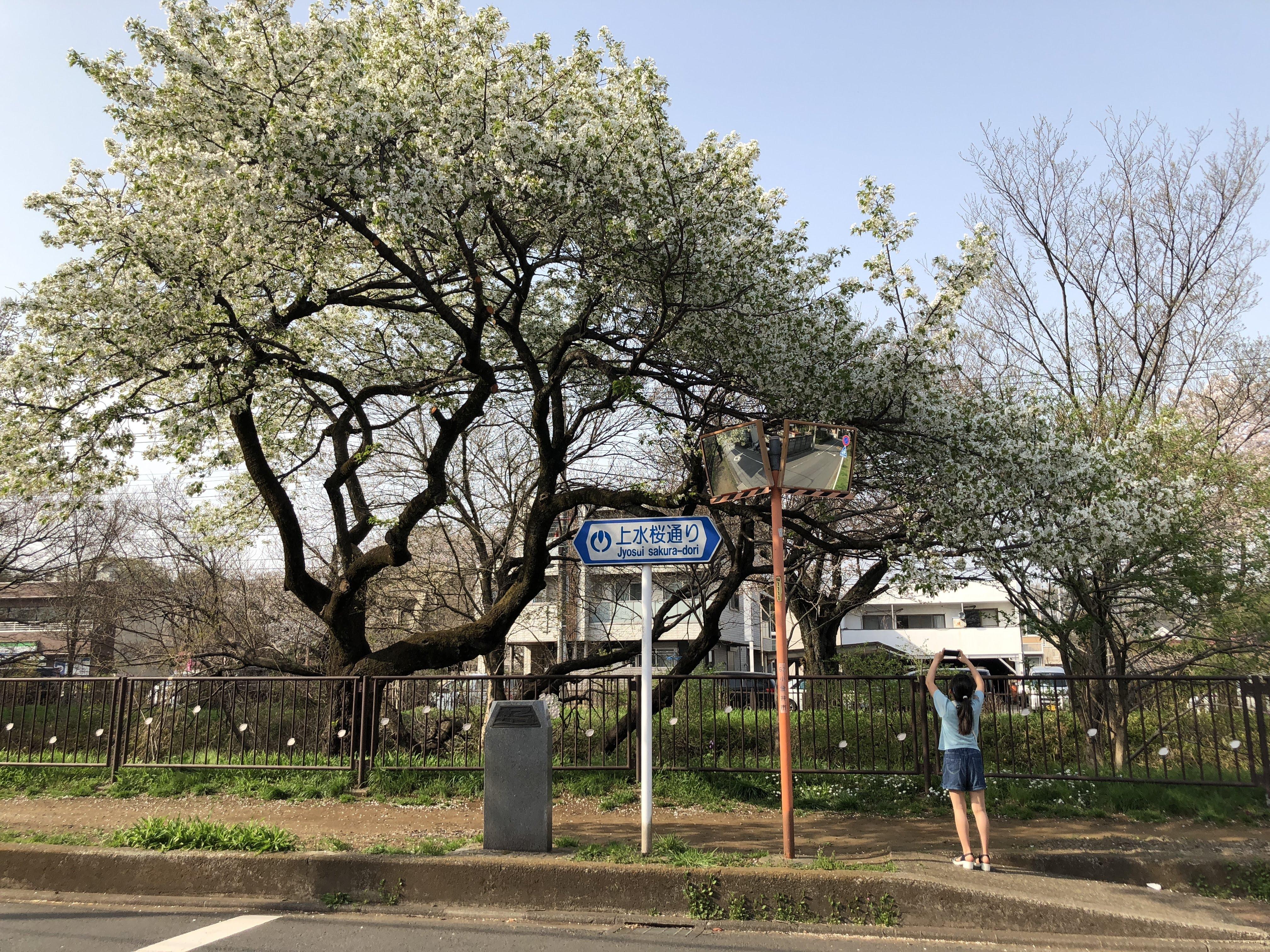 陣屋道のオオシマサクラ